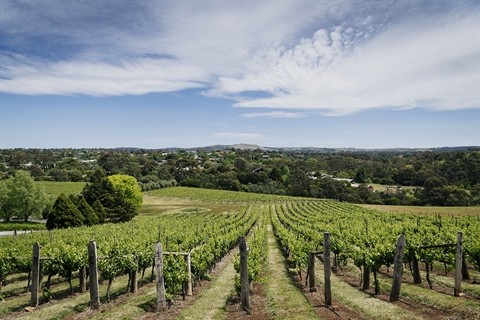 Vineyard in Sunbury